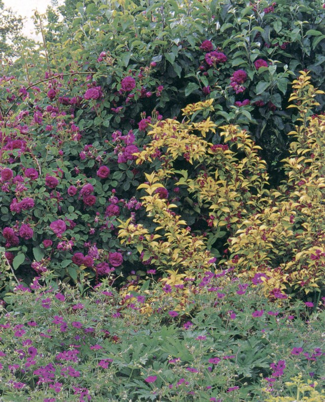 Early summer in the Cerise and Gold section, featuring Rosa 'Henri Martin' and Weigela Briant Rubidor ('Olympiade') with a massing of Geranium psilostemo