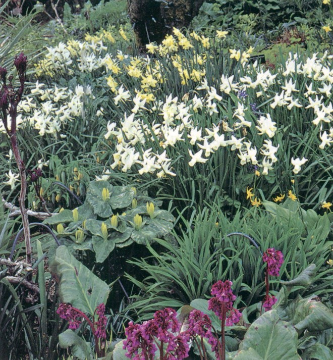 The level path through the Double Border at the top of the garden provides access to Narcissus (Cyclamineus) 'Jenny', Trillium luteum, and Bergenia; metal hoops protect later emerging perennials