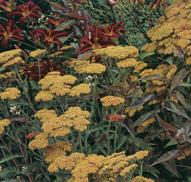 Achillea 'Terracotta' and a daylily (Hemerocallis 'American Revolution') combine in the Hot Border with Persicaria microcephala 'Red Dragon'