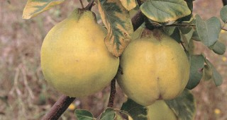 Common quince (Cydonia oblonga 'Smyrna'), nearly ready for harvesting. Photograph by Saxon Holt