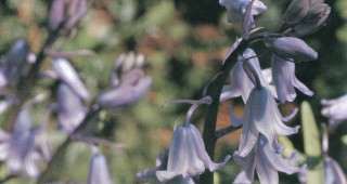 Spanish bluebells (Hyacinthoides hispanica). Author's photographs