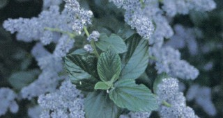 Ceanothus arboreus 'Powder Blue'. Author's photographs