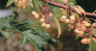 Malus transitoria 'Golden Raindrops'. Photograph courtesy J Frank Schmidt & Son Co