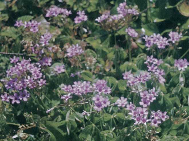 Oxalis rubra. Photographs courtesy Helen Crocker Russell Library of Horticulture, except as noted