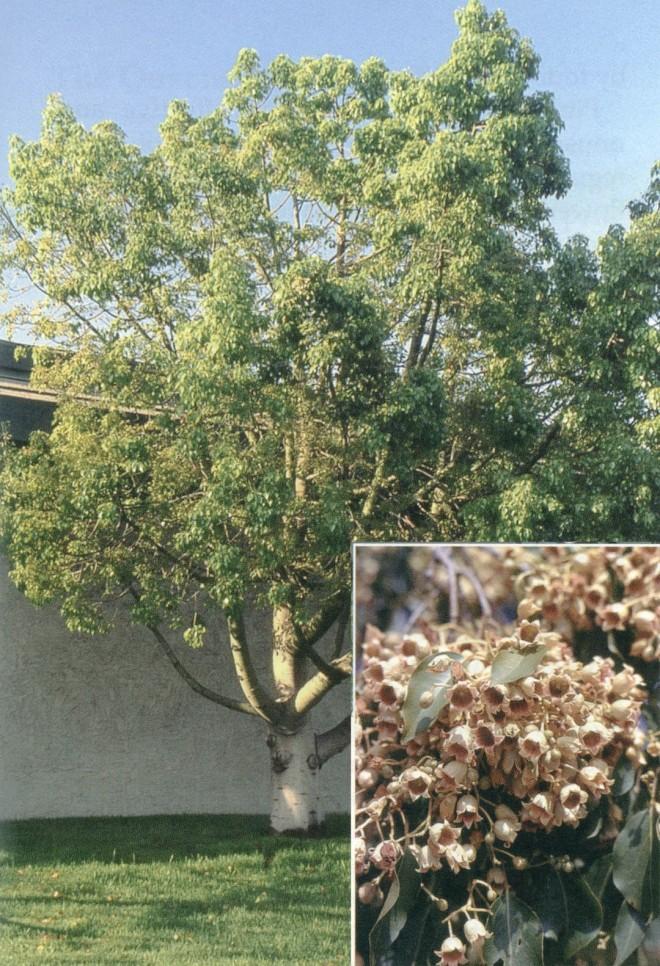 Kurrajong (Brachychiton populneus)