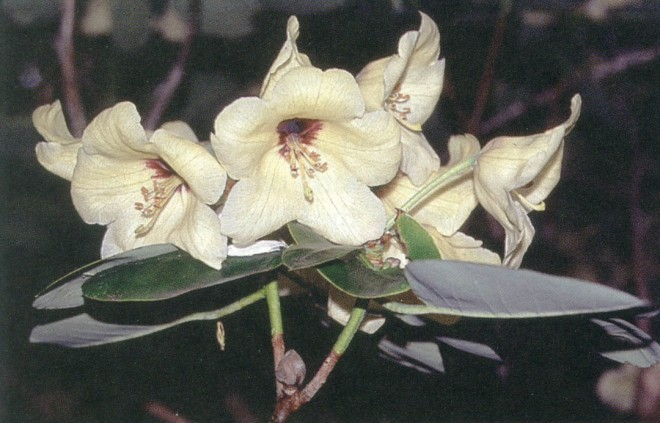 Rhododendron wardii