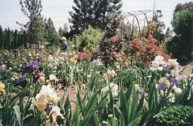A lone visitor enjoys the bearded iris while roses begin to climb an arbor. Photograph by Diane Sampson