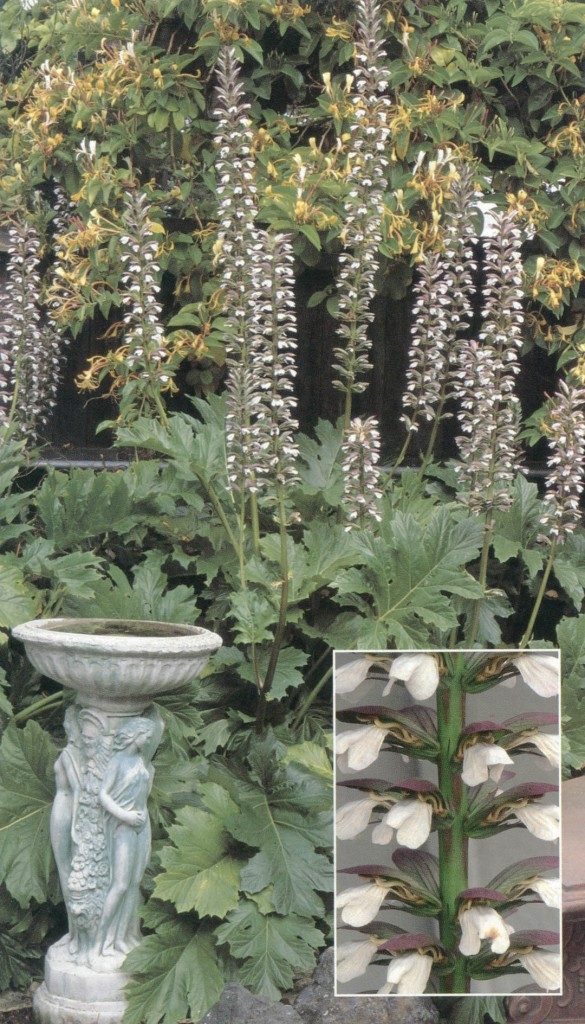 Acanthus mollis var. latifolius. Photographs by David Goldberg