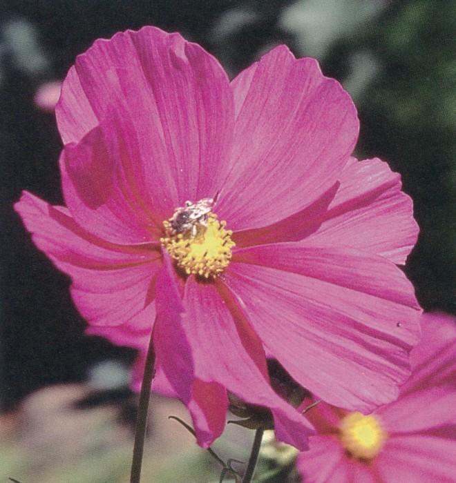 Cosmos bipinnatus with and an anthophorid bee (Melissodes sp.)
