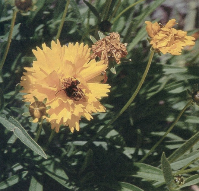 Tickseed (Coreopsis sp) with an anthophorid bee (Melissodes sp.)