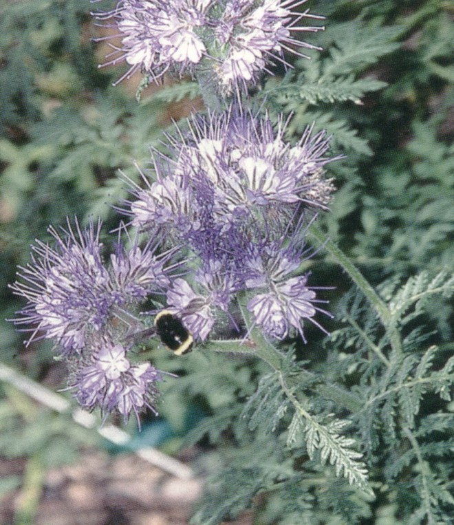 Fiddleneck (Phacelia tanacetifolia) with bumble bee (Bombus sp.)