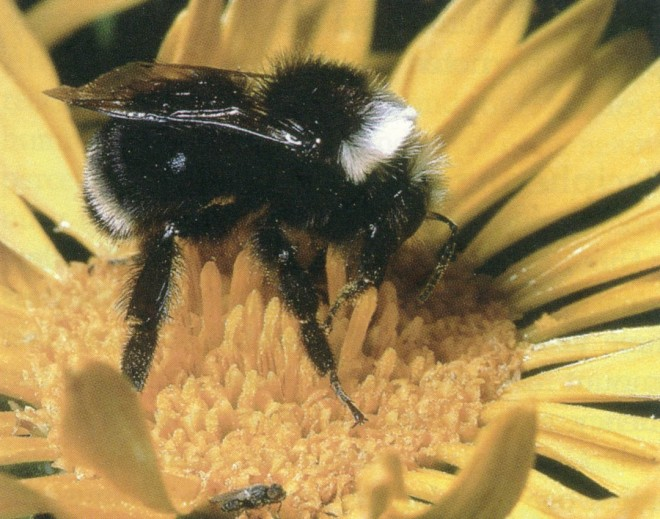A bumble bee (Bombus sp.). Photograph by Rollin Coville