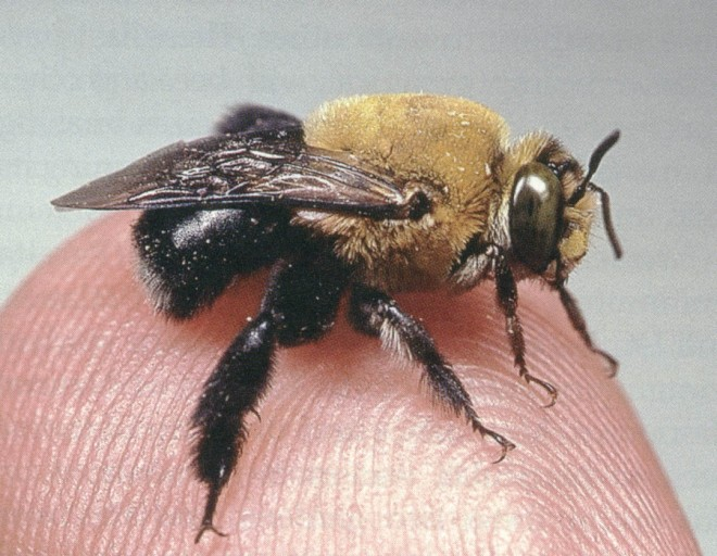 An anthophorid bee rests on Dr Frankie's finger. Photograph by Rollin Coville