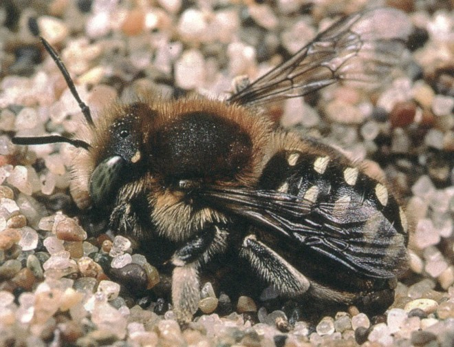 A megachilid bee (Anthidium sp.). Photograph by Rollin Coville