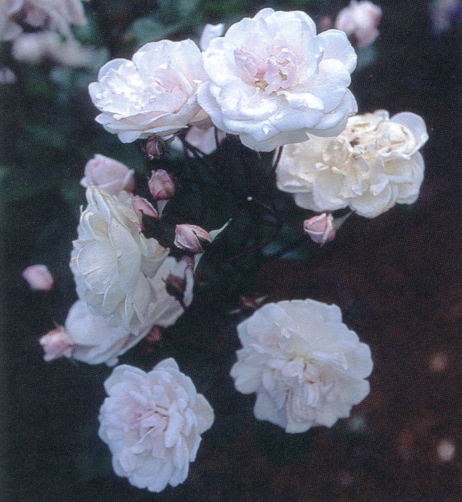 Rosa 'Little White Pet'
