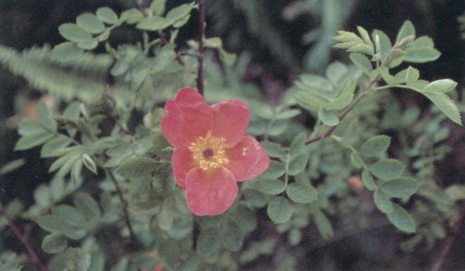 Austrian copper rose (Rosa foetida 'Bicolor')