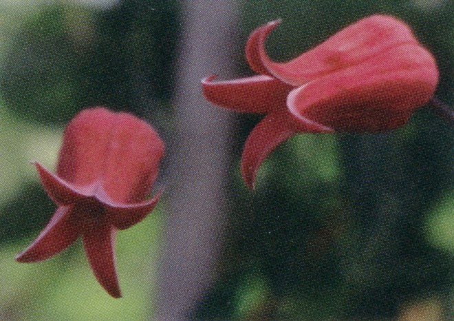 Visitors have come to Brewster Rogerson from around the world to see this exceptional form of Clematis texensis (Tarpley River form), which is red on both the inside and the outside of the tepals. Photographs by Linda Beutler, except as noted