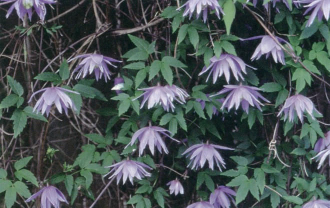Clematis macropetala is well-represented in Brewster Rogerson's collection