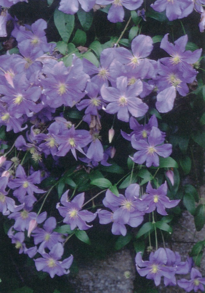 Clematis 'Perle d'Azur' is one of Brewster Rogerson's favorites. Photographs by Pamela Harper, except as noted