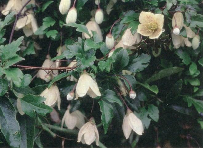 Clematis cirrhosa var. balearica