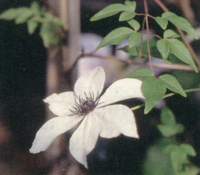 The rarely seen single form of Clematis florida is the prize of an advanced clematis collector