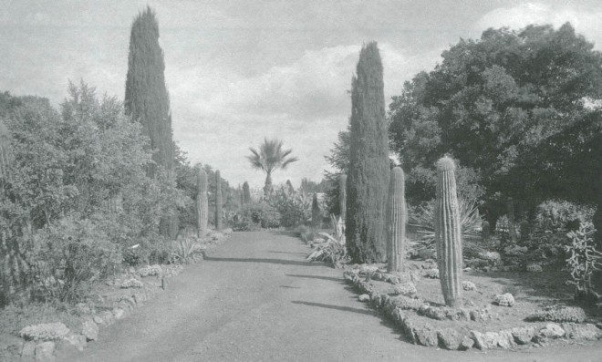 Columnar saguaro cactus (Carnegiea gigantea) appear on both sides of the central aisle in the Arizona Garden, Stanford University, circa 1900–1910. Photographer unknown. Courtesy of Stanford University Archives