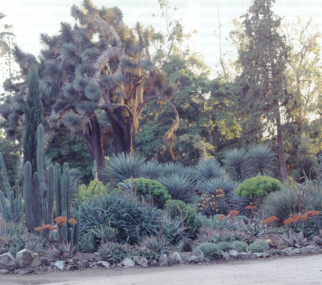 A replanted bed of aloes, euphorbias, and yuccas below an established Yucca filifera in the recently refurbished Arizona Garden on the Stanford University campus. Photograph by Marion Brenner