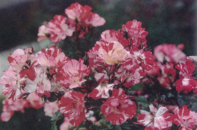 Fourth of July (1999; Roller Coaster x Altissimo); a fragrant, large-flowered climber and AARS award-winner