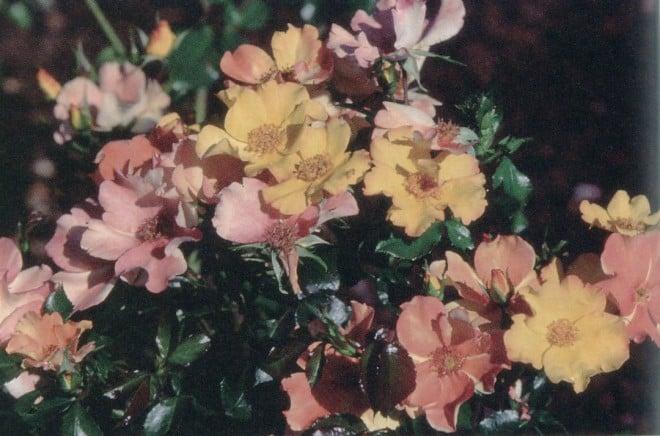 Flutterbye (1996; 'Playboy' x Rosa soulieana seedling); a shrub or climber
