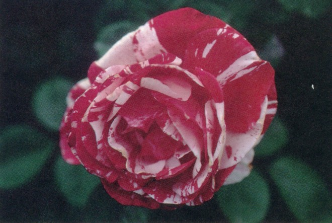 Scentimental (1997; 'Playboy' x Peppermint Twist); a floribunda with a strong, spicy fragrance