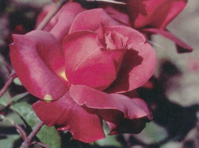 Hot Cocoa (('Playboy' x 'Altissimo') x 'Livin' Easy'); a fragrant floribunda. Photograph by Gene Sasse, courtesy of Weeks Roses
