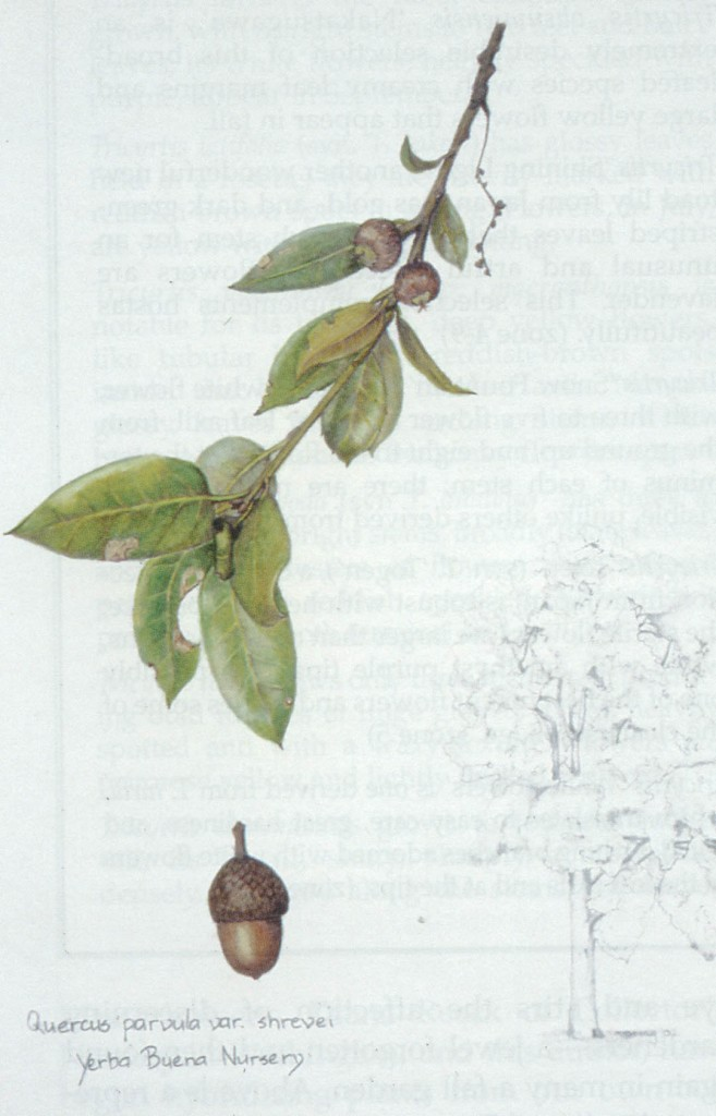 Shreve oak (Quercus parvula var. shrevei). Author's lllustration