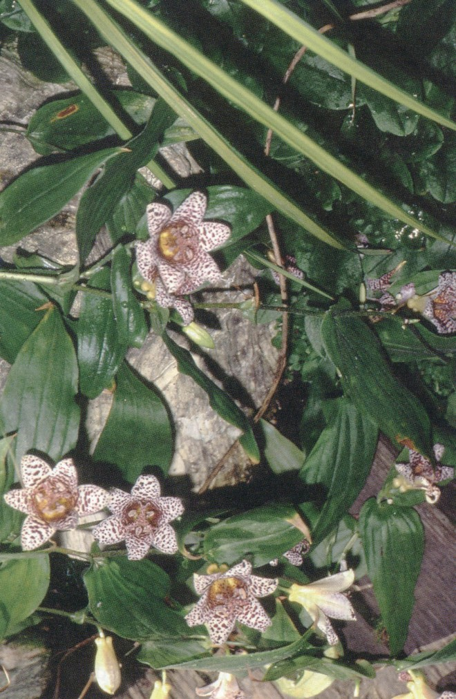 Tricyrtis 'Kohaku' (T. hirta x T. macrantha subsp. macranthopsis)