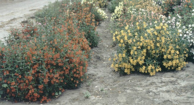 A planting of David Verity's hybrid monkeyflowers (Mimulus) at Tree of Life Nursery. Author's photographs