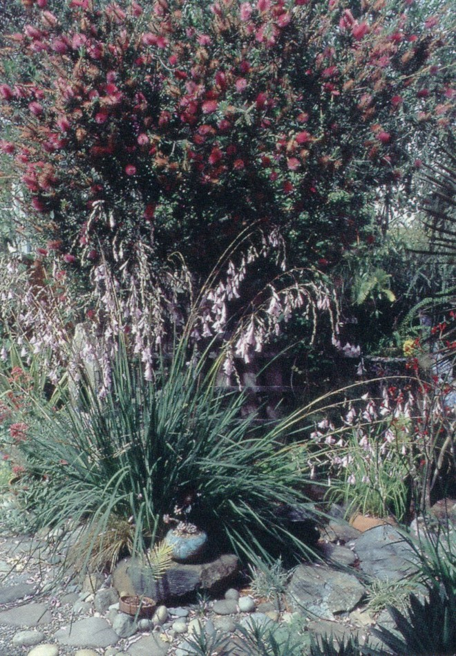 Graceful wands of pale mauve pink flowers on Dierama robustum are silhouetted against the shadowy foliage of a crimson-flowered bottlebrush (Callistemon)