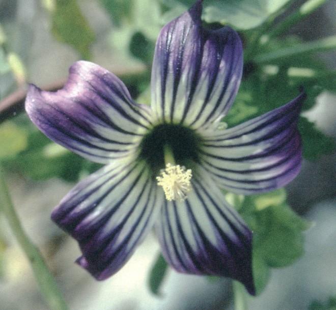 Lavatera venosa. Photograph by Carol Bornstein