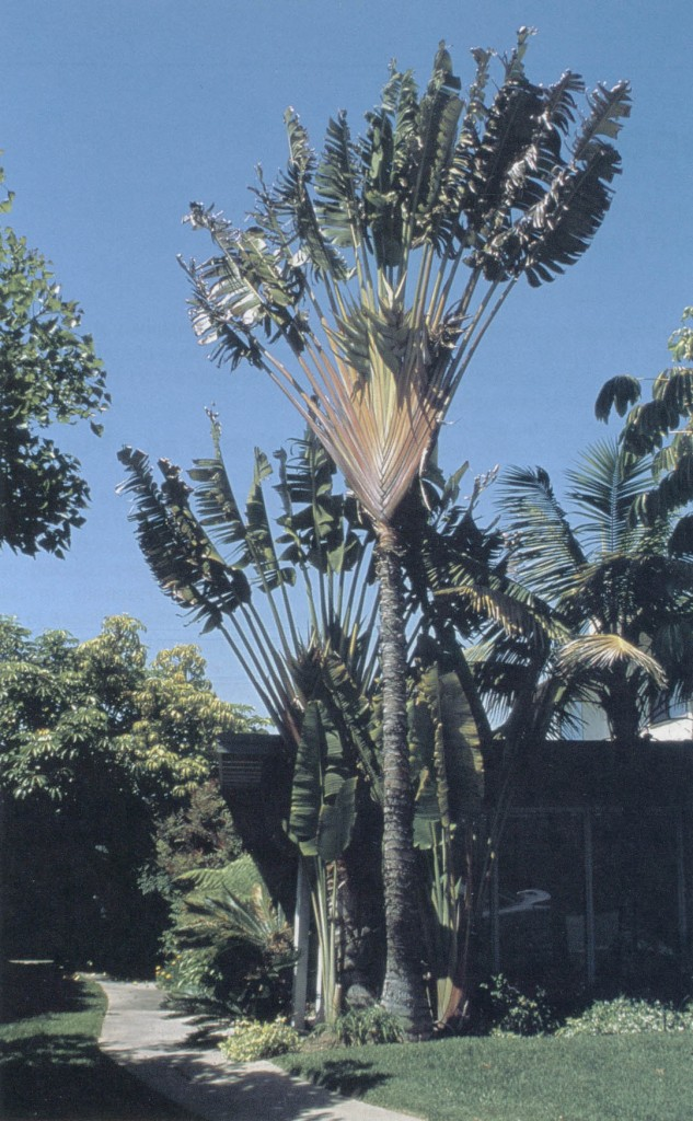 Traveler's tree (Ravenala madagascariensis). Photographs by Don Walker