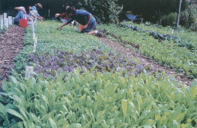 Apprentice course members harvest salad greens from the beds in the Alan Chadwick Garden. Photographer unknown