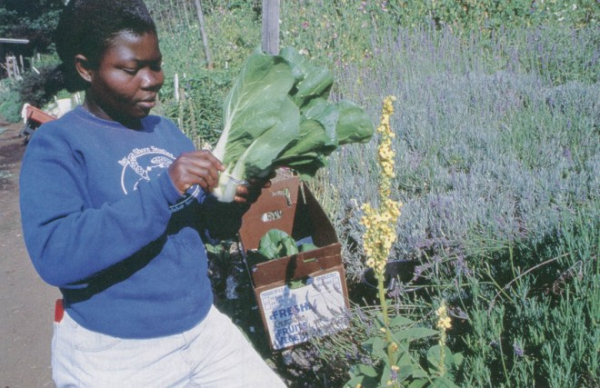 An apprentice course member from Ghana harvests Asian greens in the Alan Chadwick Garden. Photograph by Jon Kersey