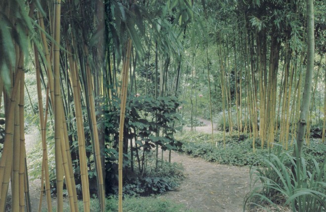 The golden culms of various selections of Phyllostachys brighten an otherwise green landscape at the Kimmei Nursery in Japan. Author's photographs
