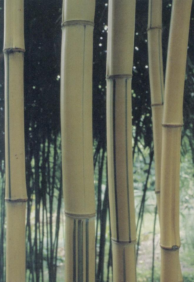 Golden Chinese timber bamboo (Phyllostachys vivax f. aureocaulis)