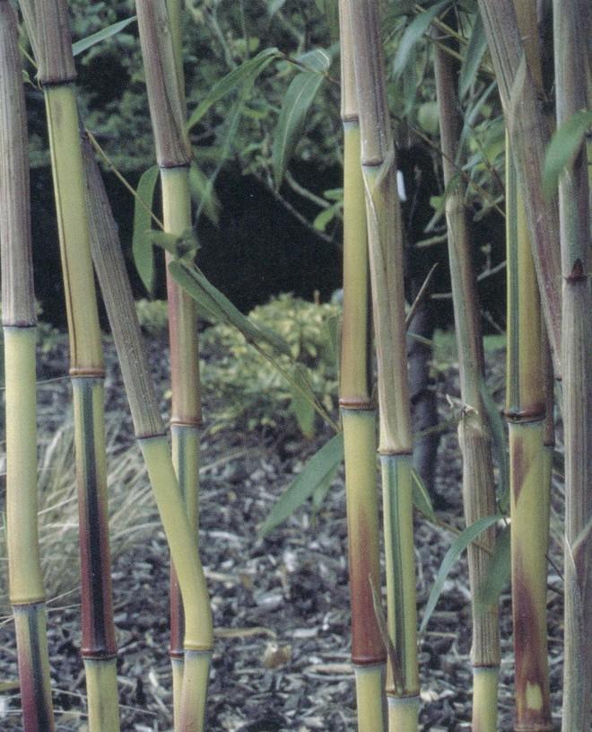 Multi-hued Phyllostachys aureosulcata f. spectabilis