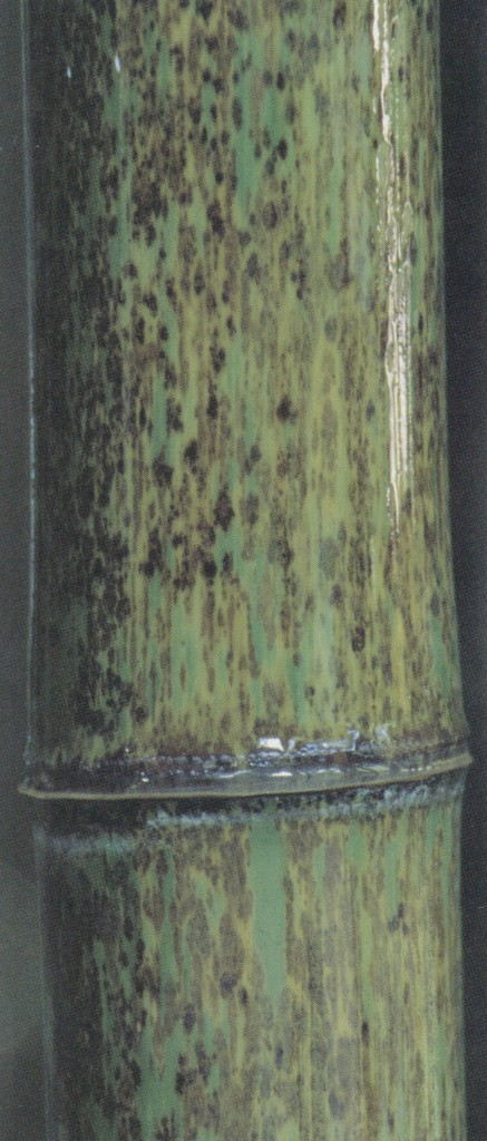 Some bamboos, such as Phyllostachys nigra 'Boryana', demand close viewing to appreciate the color patterns of the culms