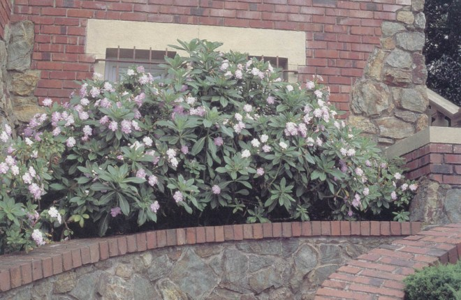 Impatiens sodenii. Photograph by David Goldberg