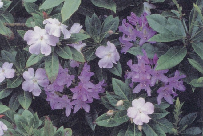 Pale pink flowers of Impatiens sodenii with purple flowers of Rhododendron ponticum. Author's photograph