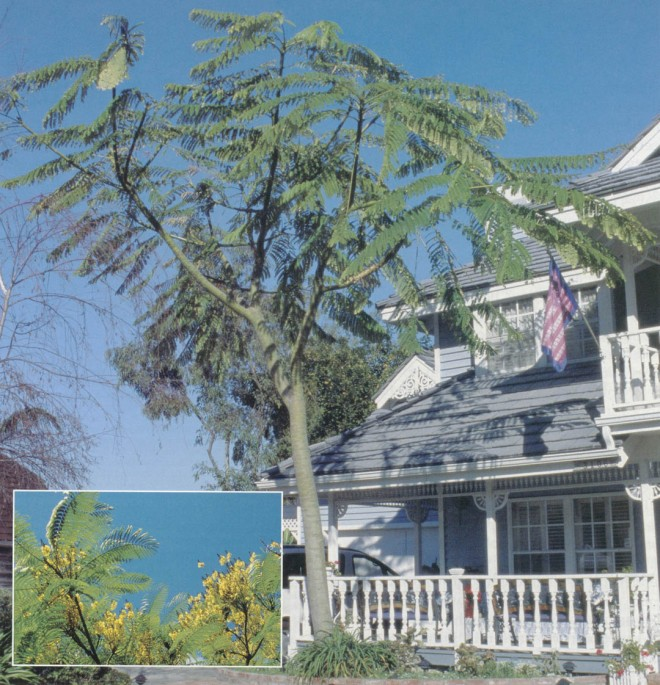 Schizolobium parahyba in  front of a house in Oceanside, California. Inset: Flowers on the tree at Quail Botanic Garden.  Photographs by Don Walker