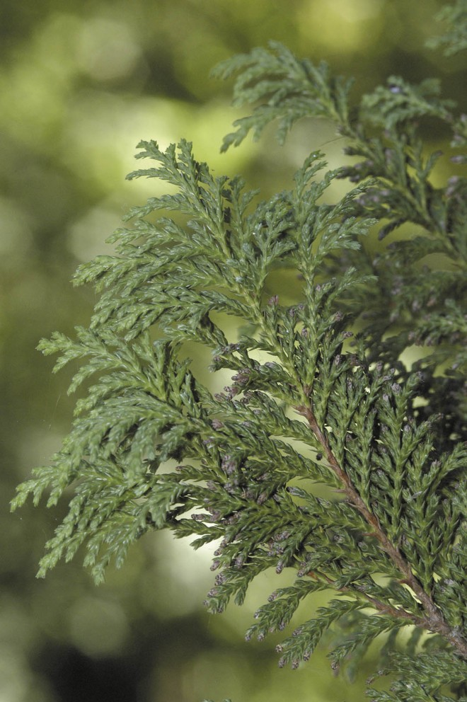 Foliage and cones of Chamaecyparis pisifera 'Plumosa Vera'