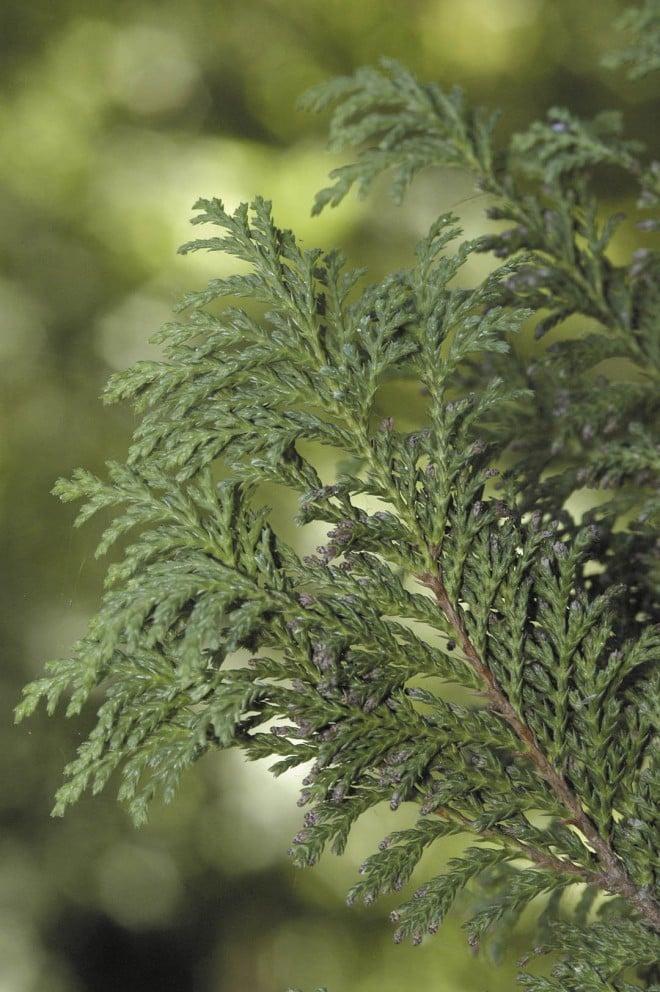 Foliage and cones of Chamaecyparis pisifera 'Plumosa Vera'