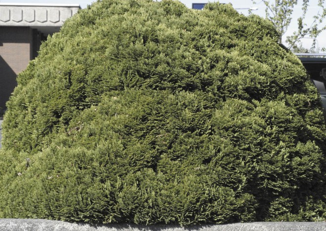 "A twenty-year-old specimen of Chamaecyparis lawsoniana ""Minima Glauca' grafted onto C. pisifera 'Plumosa Vera'"
