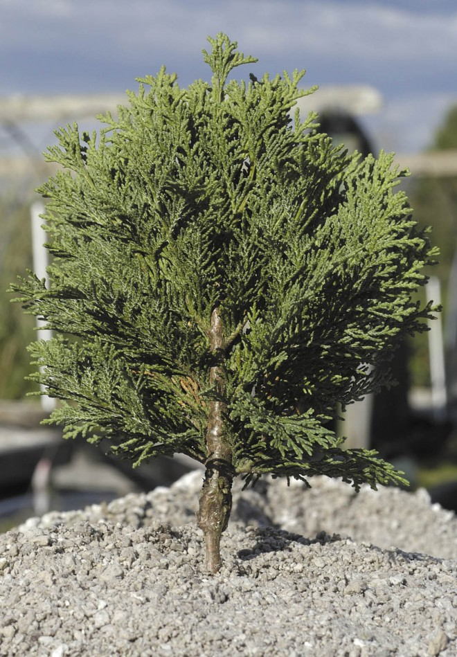 A young plant of Chamaecyparis lawsoniana 'Minima Glauca' grafted unto a rootstock of moss sawara cypress (C. pisifera f. squarrosa); the enlarged base of the  topgrowth could eventually create problems for the grafted plant. Author's photographs